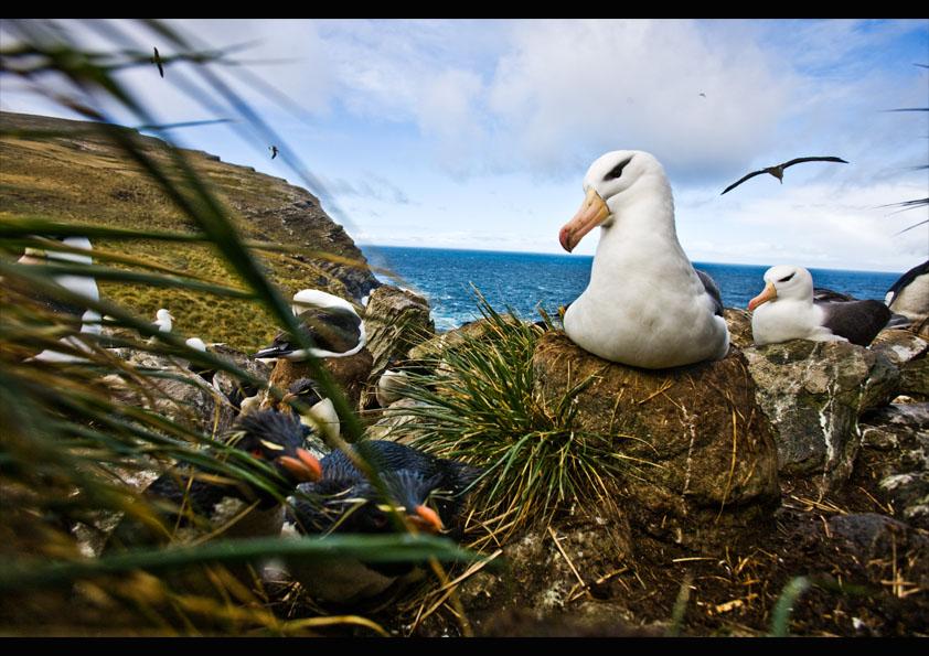 Albatross Falklandsöarna