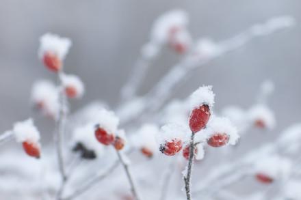 Nypon i frost och snö.